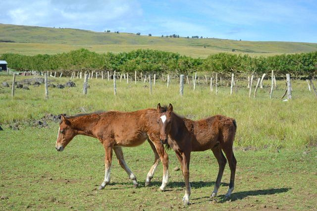 On Easter Island there are more than 5000 horses