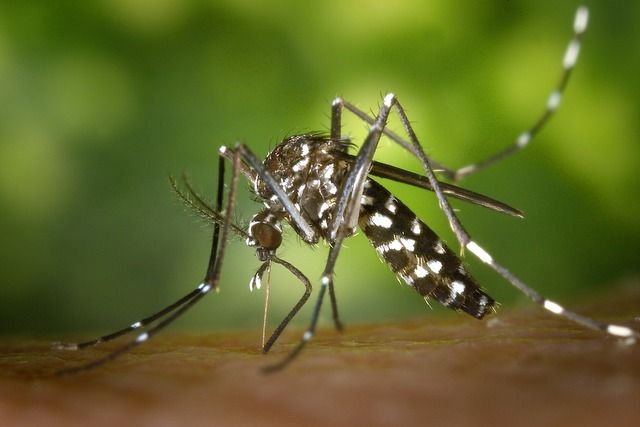 Health and vaccines in Easter Island mosquito Aedes Aegypti